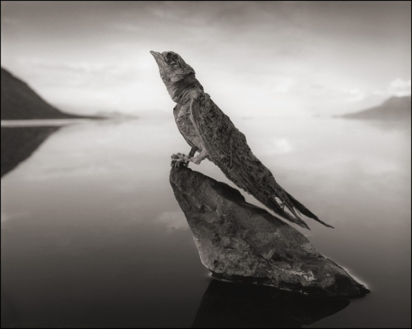 Calcified Swallow